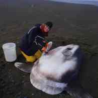 First New Species of Sunfish Discovered in 130 Years