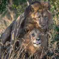 Kenyan Official Outraged Over Gay Lions Photographed Having Sex Demands They Be Separated