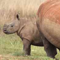 Fury as China Reverses 25-Year Ban on Rhino Horn and Tiger Bone for Useless Medicine