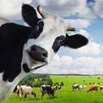 Devin Nunes Cow