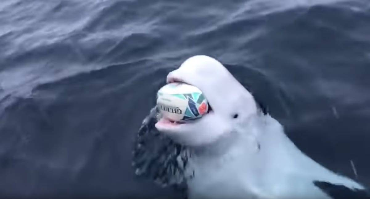 Wild Beluga Whale celebrates Boks' win by playing fetch with rugby ball