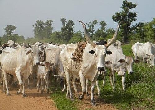 Fulani Herdsmen Invaded Uwheru In Delta State