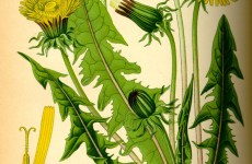 dandelion-botanical-illustration