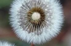dandelion head photo