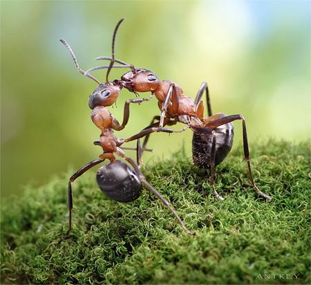 Kissing Ants