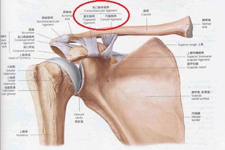 鳥口鎖骨靭帯