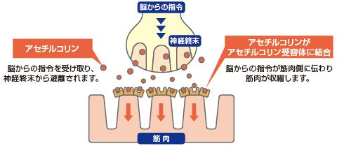 神経筋接合部