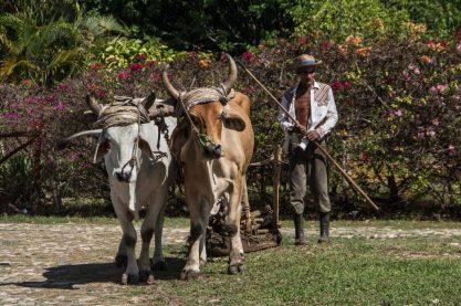 buey campo cultivar cultivo