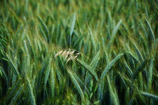 cultivo trigo campo cultivado  LAS HABAS: UNA PLANTA AMBIVALENTE