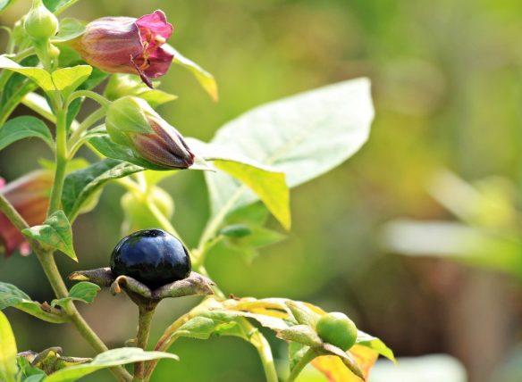 belladonna planta flor venenosa tóxica
