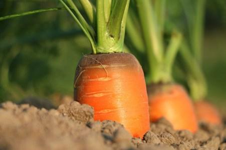 carota terra arancione LA CAROTA: LA MALEDIZIONE DEL COLORE VIOLA