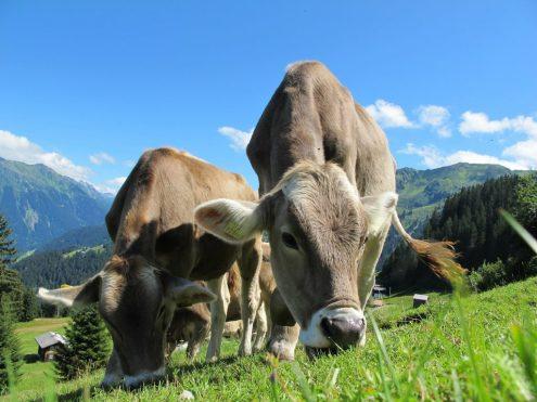 mucche pascolo ruminanti