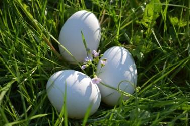 uova gallina bianchi uovo