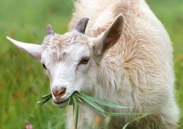 cabra animal herbívoro  rumen