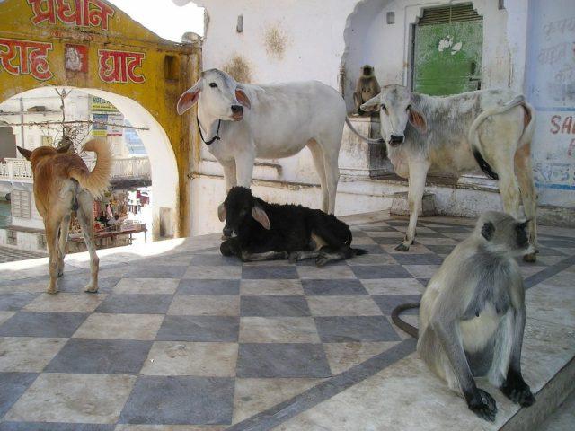 muche india sacre animali cultura culturale