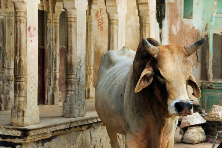 """cow india THE BLACK LIST OF """"FORBIDDEN"""" PLANTS IN ANTIQUITY"""