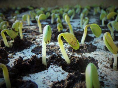 germinazione terra germogli LE FAVE E LA LORO ORIGINE IMPURA
