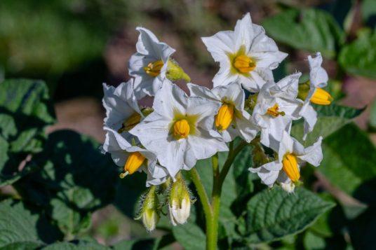 flor patata planta LAS PATATAS: EL ALIMENTO DE LOS DIOSES