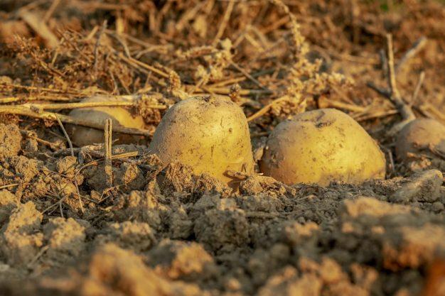 patatas tierra verdura vegetal LAS PATATAS: EL ALIMENTO DE LOS DIOSES