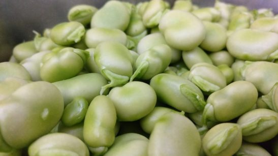 broad bean leguminous  THE BEANS AND PYTHAGORAS: MYTHS AND LEGENDS