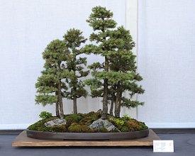 BonsaiShow_Black_Hills_Spruce_bonsai_forest_planting,_July_13,_2008 Bonsai Show Times Publishing Group Inc tpgonlinedaily.com