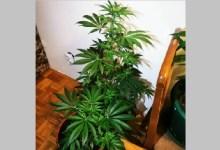 Photo of GAJIO INDIJSKU KONOPLJU U STANU: Otkrivena laboratorija za marihuanu u Požarevcu