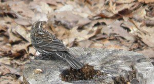 Song Sparrow is stumped