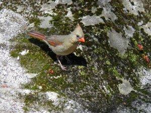 Female Cardinal blending in