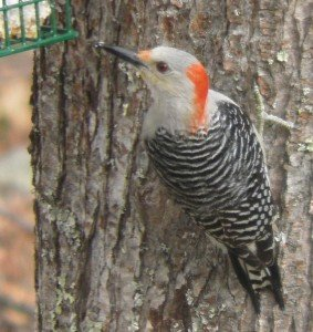 Red-bellied Woodpecker with zombie eyes