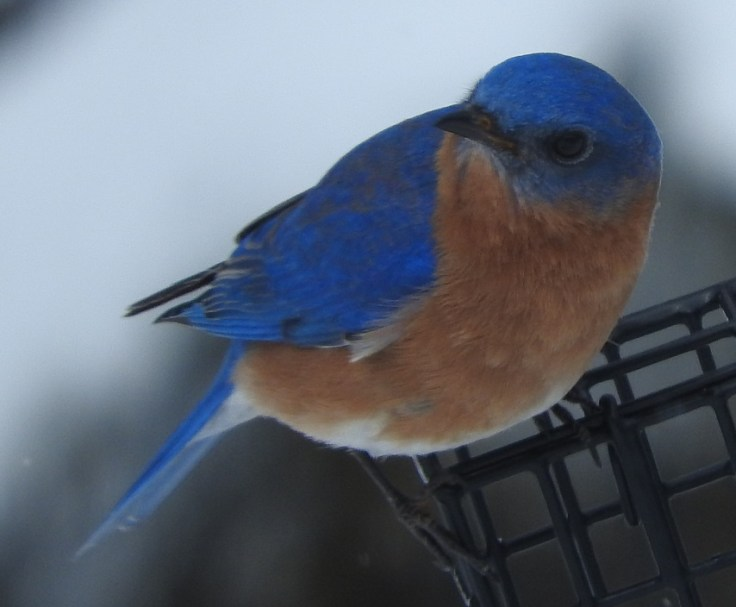 Mister Bluebird