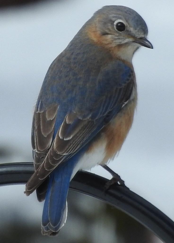 Missus Bluebird