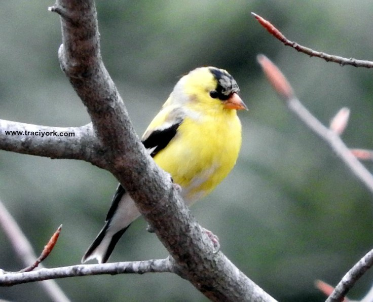 Mr Goldfinch