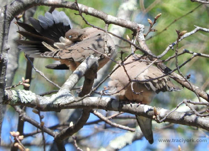Preening pair of Mourning Doves