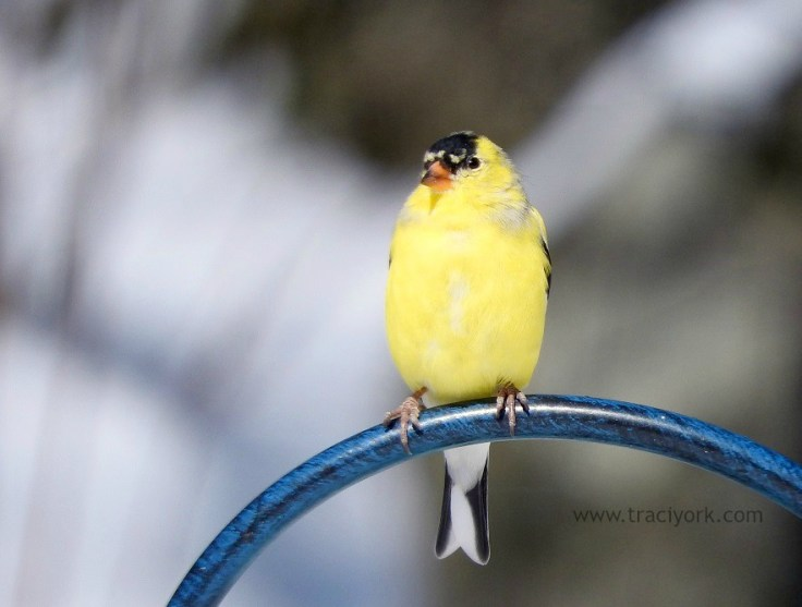 Goldfinch in the snowlight