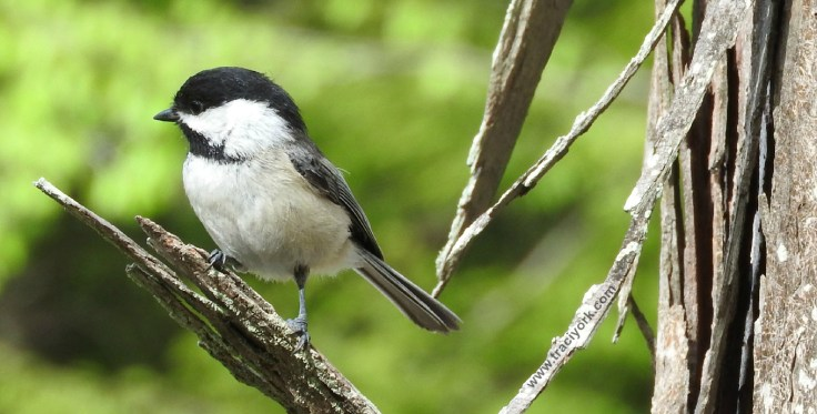 Captain Stance, Black-capped Chickadee style