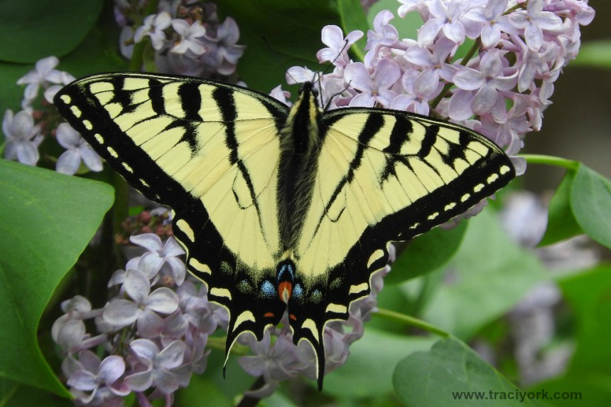 Eastern Tiger Swallowtail on a lilac tree