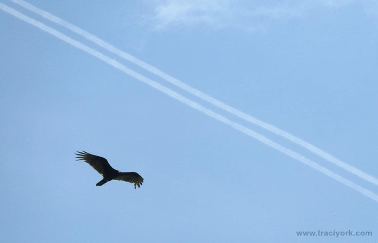 Turkey vulture chasing the contrails