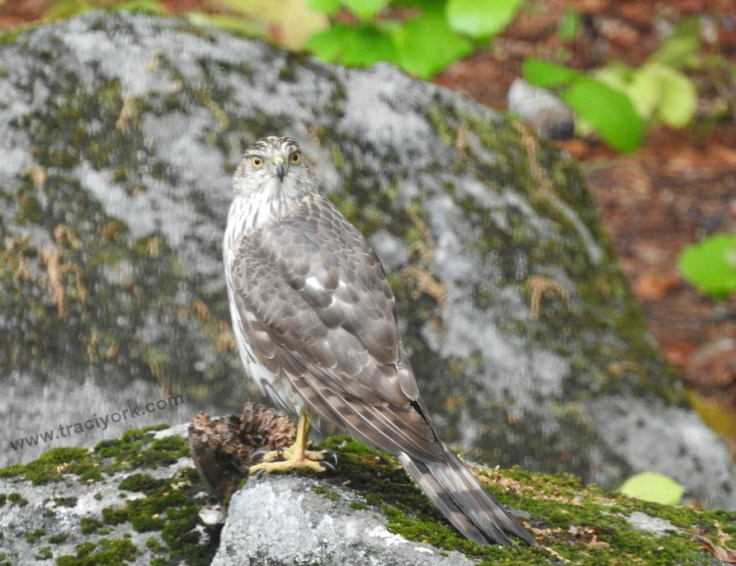 Foto Friday 13 Cooper's Hawk, surveying the Avian Eatery