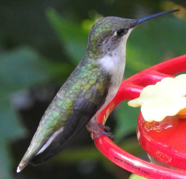Hummingbird close-up