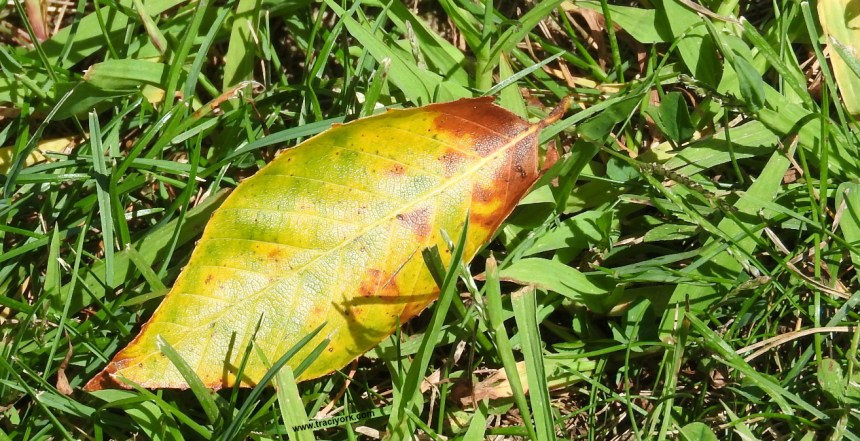 First fall leaf on the ground, morning of the 29th