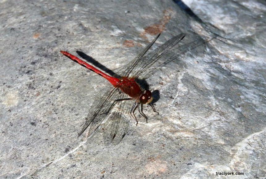 Dragonfly, Nuthatch, Dandelion