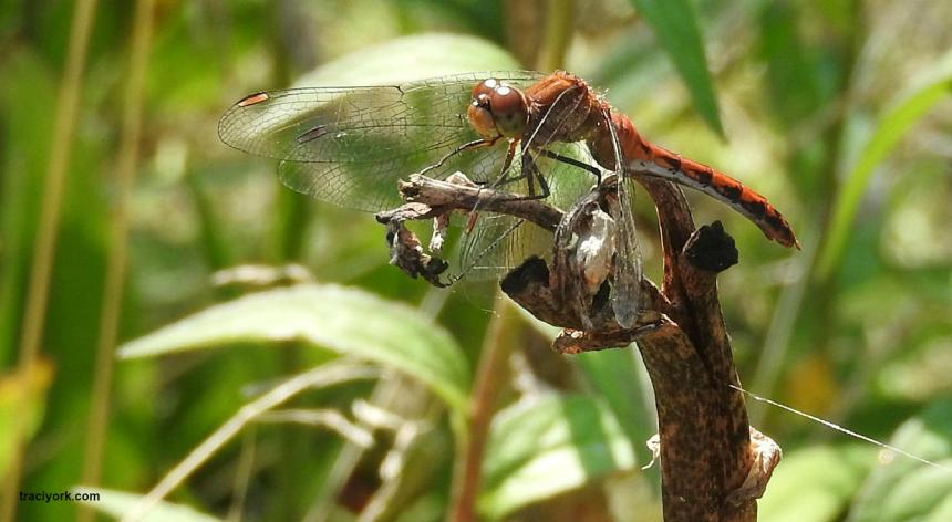 Dragonflies, Dragonflies, and more Dragonflies
