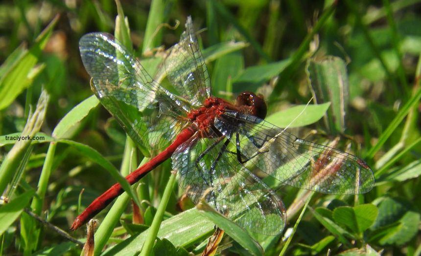 Dragonflies, Dragonflies, and more Dragonflies