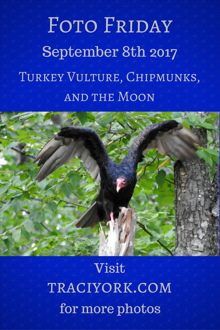 Turkey Vulture, Chipmunks, and the Moon blog graphic