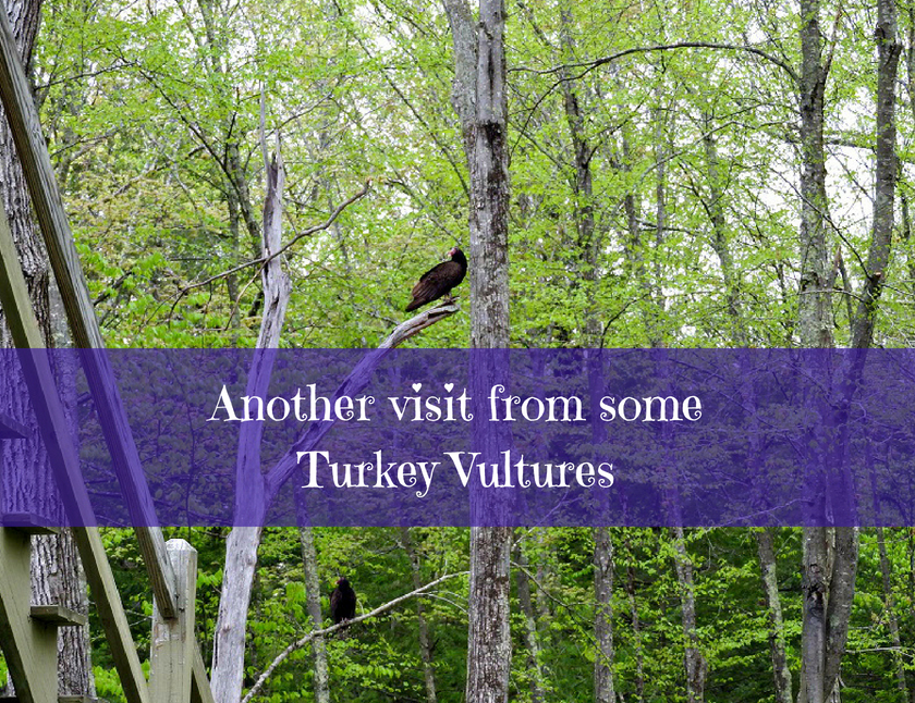 Another visit from some Turkey Vultures