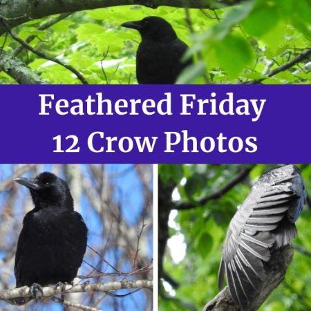 Feathered Friday - 12 Crow Photos