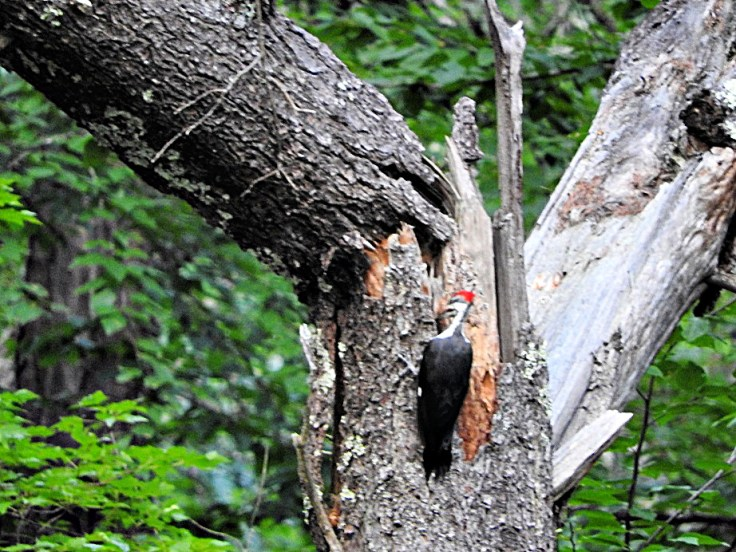 Pileated Woodpecker visit on August 31st, 2019