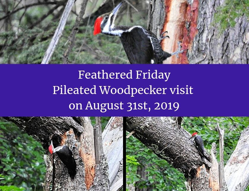 Feathered Friday - Pileated Woodpecker visit on August 31st, 2019