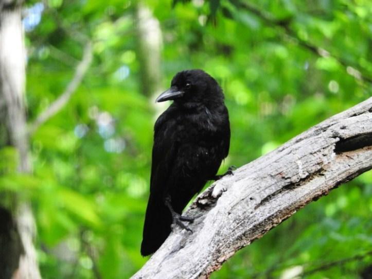 Dreamy Crow Couple