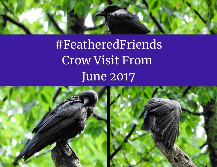 #FeatheredFriends - Crow Visit From June 2017 blog thumbnail